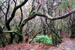 Märchenwald auf Madeira