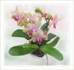 März Orquidee