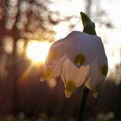 Märzenbecher-Blüte 1