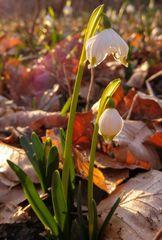 Märzenbecher-Blüte 2