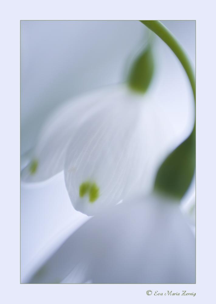 m rzenbecher grosses schneegl ckchen foto bild pflanzen pilze flechten bl ten. Black Bedroom Furniture Sets. Home Design Ideas