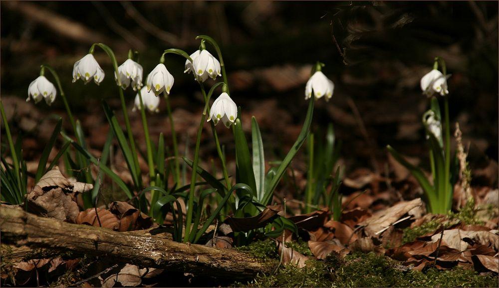 Märzenbecher im Wald