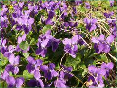 Märzveilchen (Viola odorata)