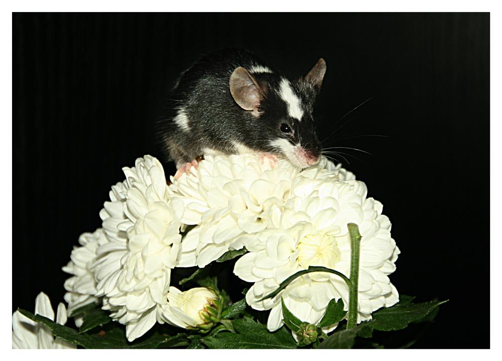Mäuschen auf Blume