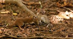 Mäuse gehören noch zu seiner kleinen Beute ---