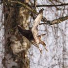 Mäusebussard beim Anflug auf das Futter