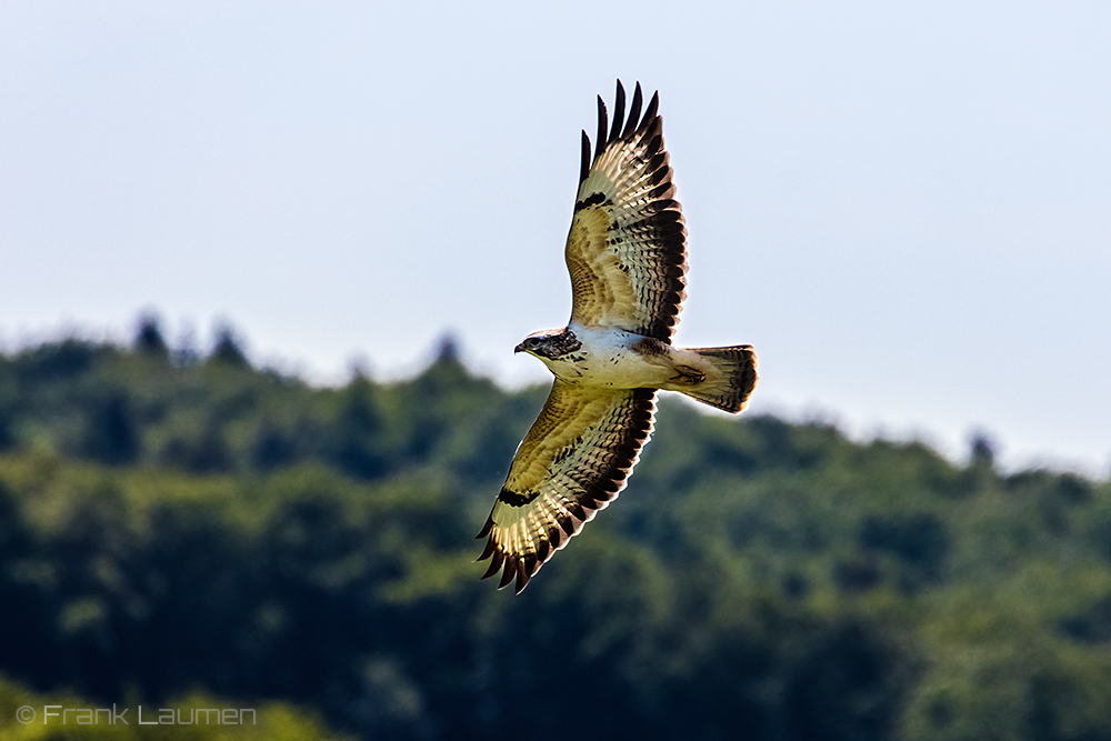 Mäusebussard - Common buzzard