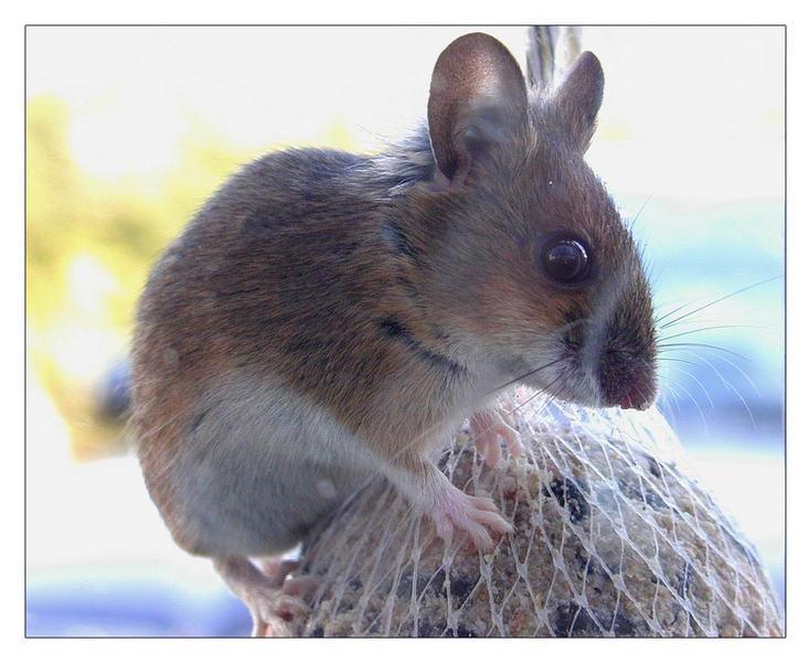 Mäuseknödel
