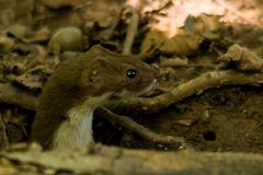 Mäusewiesel