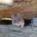Mäusle (9)