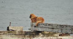 Magellanhund-3