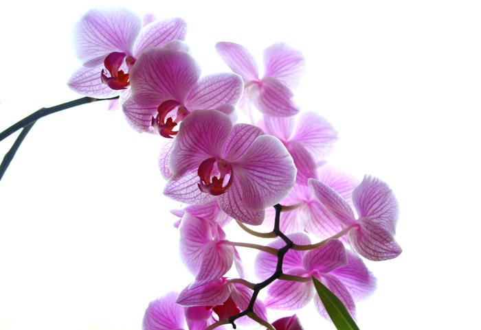Magenta Orchidee