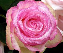 magenta Rose mit Tropfen