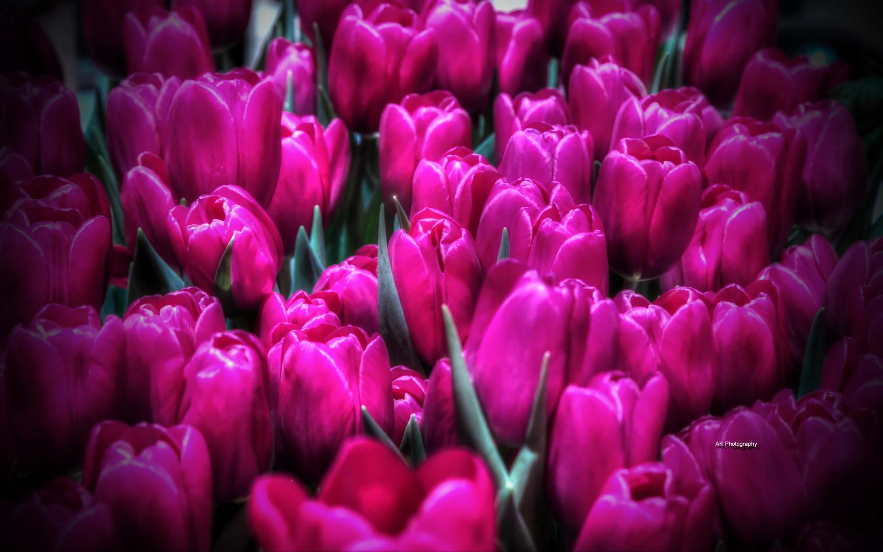 Magenta Tulpen