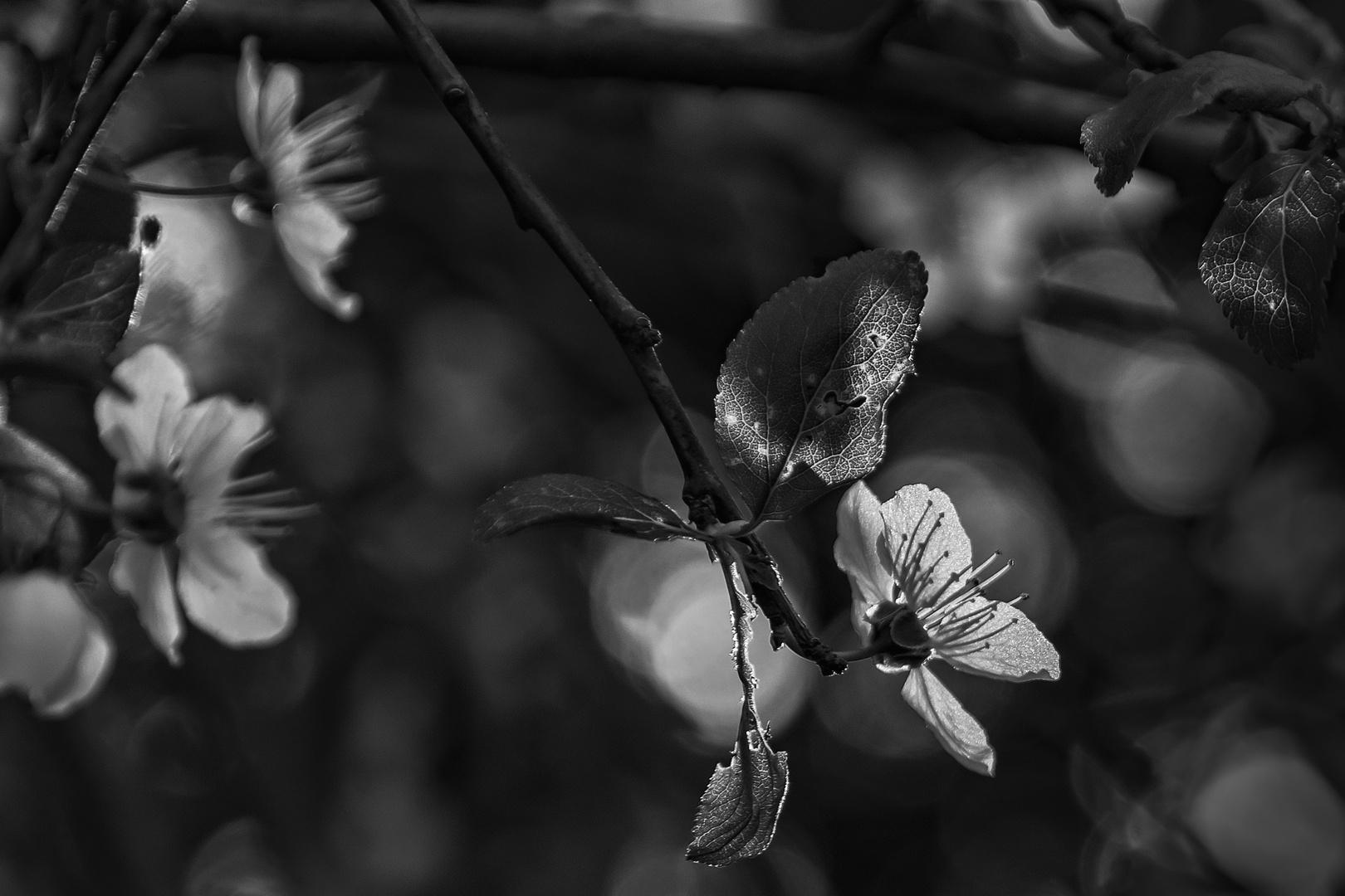 Magie der Kirschpflaumenblüte...