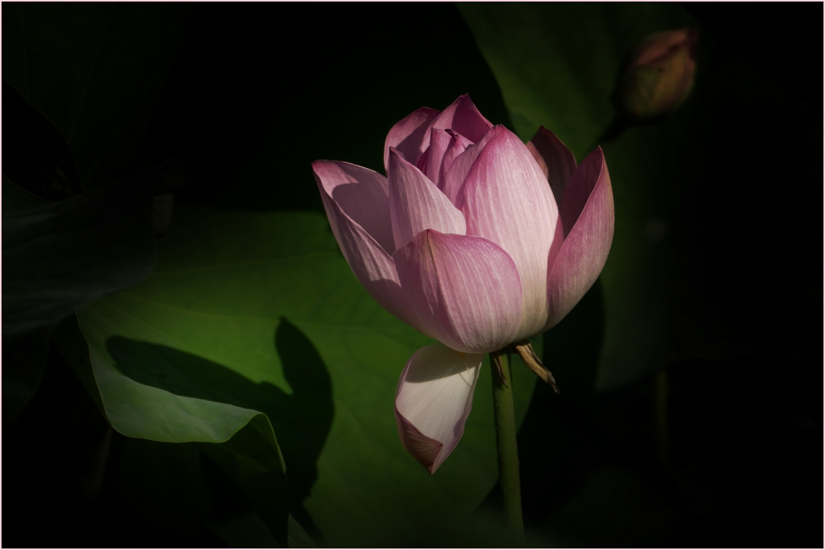 magie du lotus .....