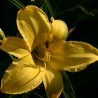 magisch angezogen vom Gelb der Blüte