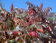 magnifiques camaieu de couleurs d automne sur une meme plante