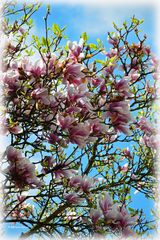 Magnolia at her last glance