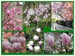 Magnolia coloniensis
