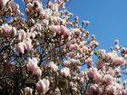 magnolia con fiori