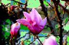 Magnolia Fantasy