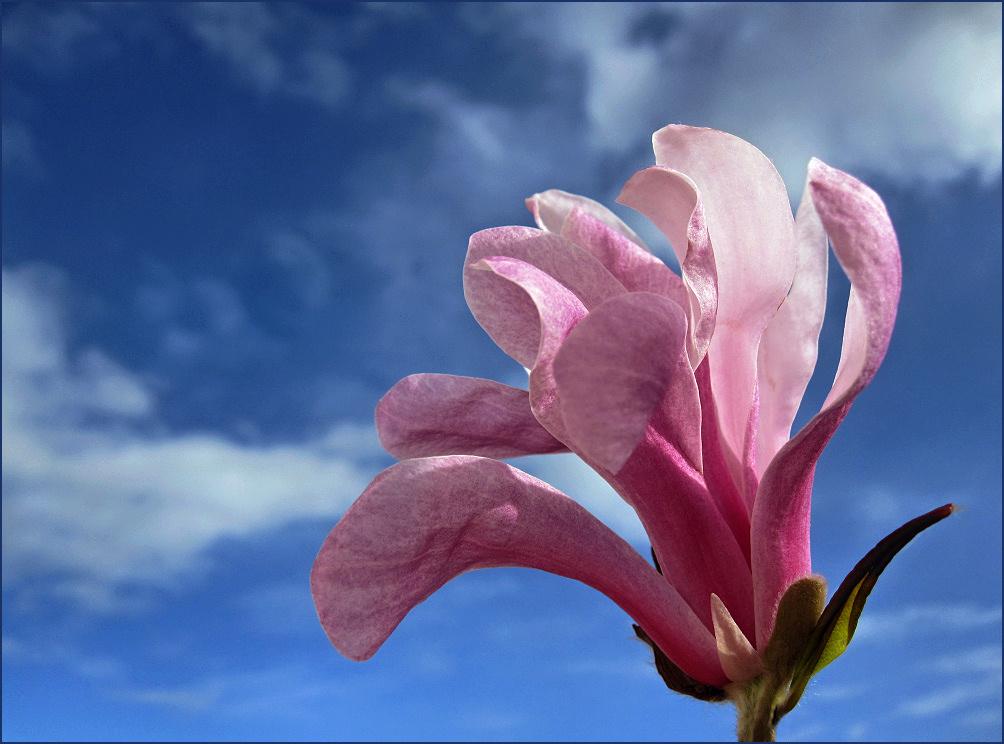 Magnolia flower against blue sky