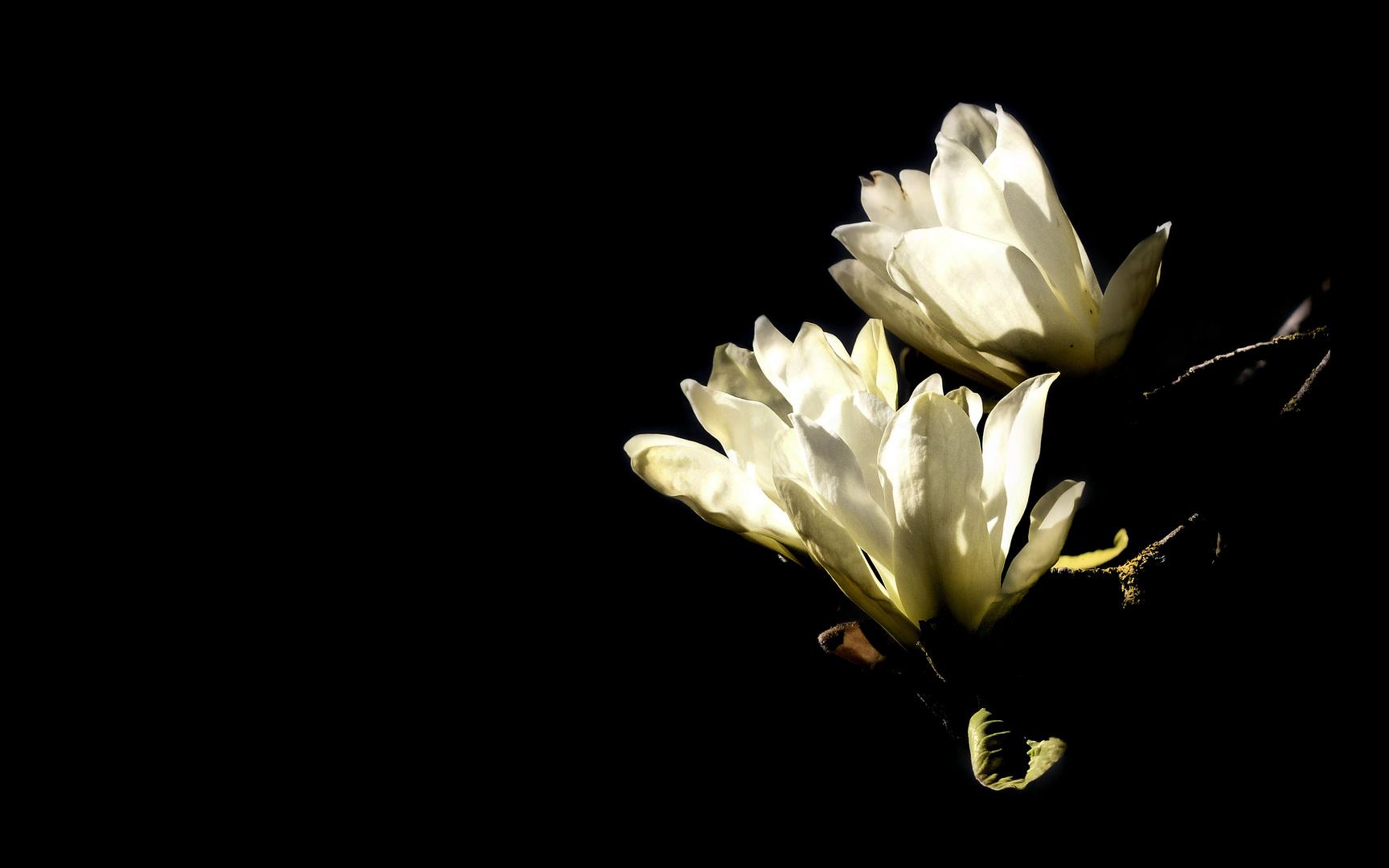 ... magnolia flowers