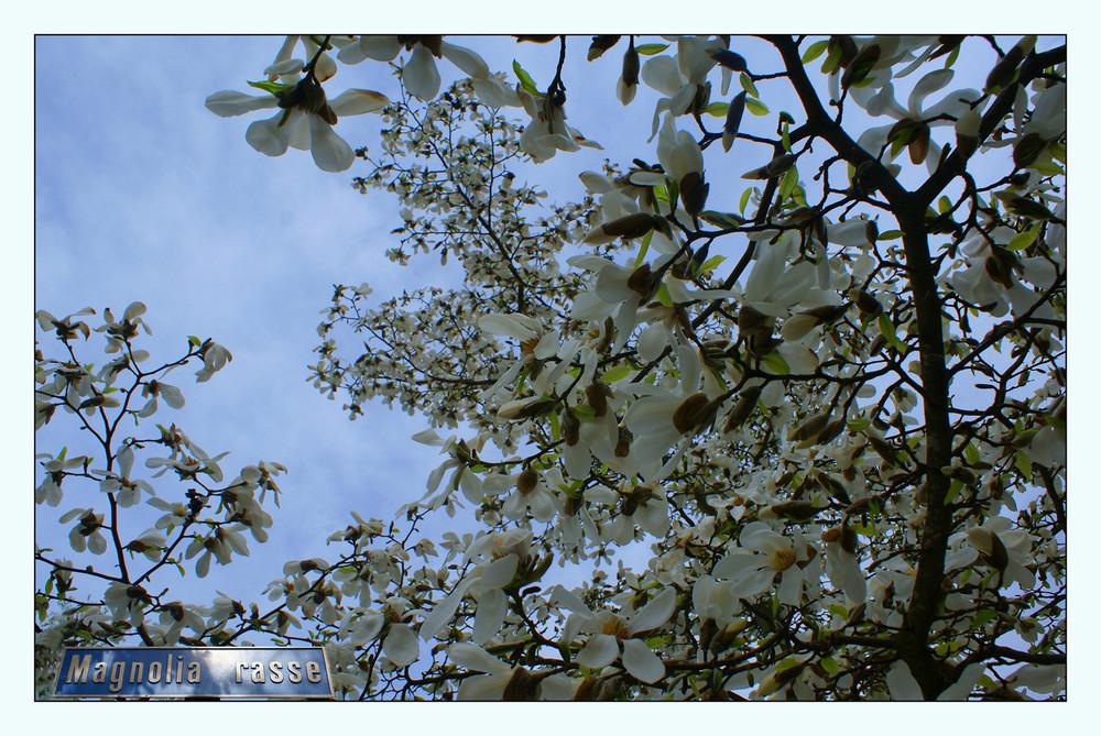 Magnolia- Rasse