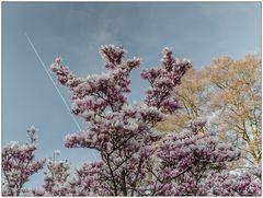 [magnolia sky]