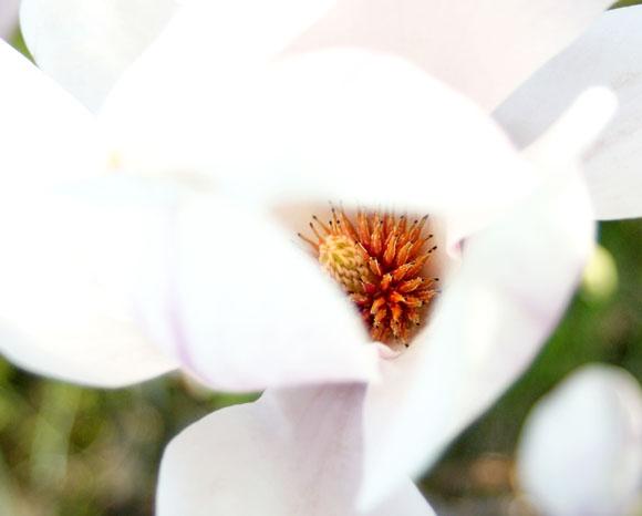 magnolia zwo
