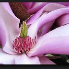 Magnolias core