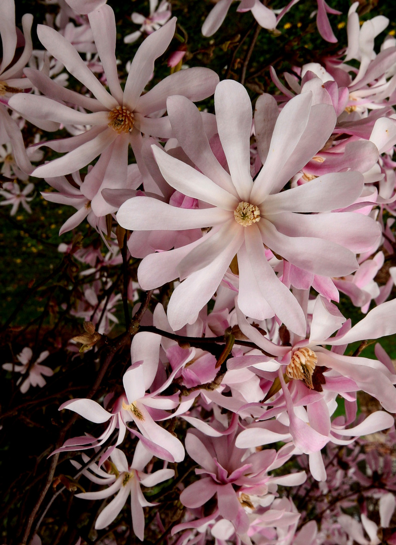 Magnolias Etoilés