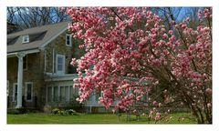 Magnolias in full bloom