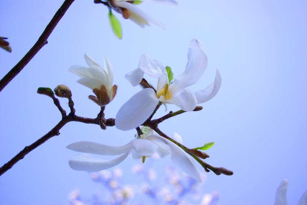 magnolias3