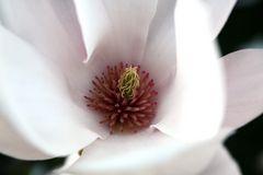 Magnolie #1