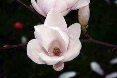 Magnolie #2