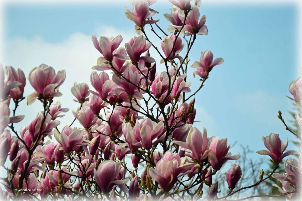 Magnolie als Frühlingsbotin