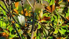 Magnolie auf Madeira