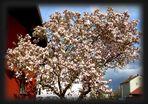 Magnolie, der Frühlingsbaum