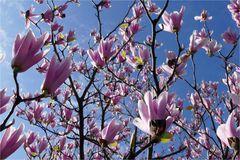Magnolien-Blüten-Meer