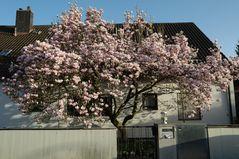 Magnolien, die vom Winter träumen...