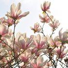 Magnolien im Gegenlicht.....