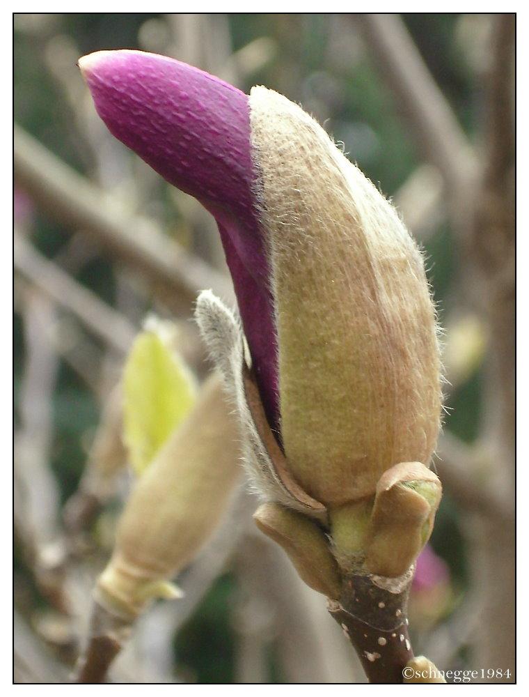 Magnolien Knospe