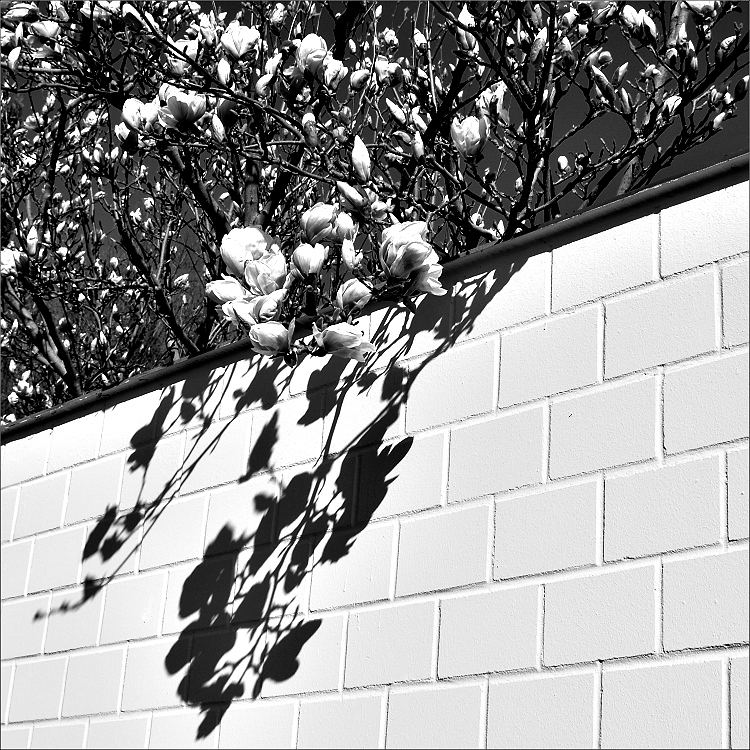 Magnolien-Schatten