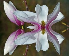 Magnolien-Spiegelei