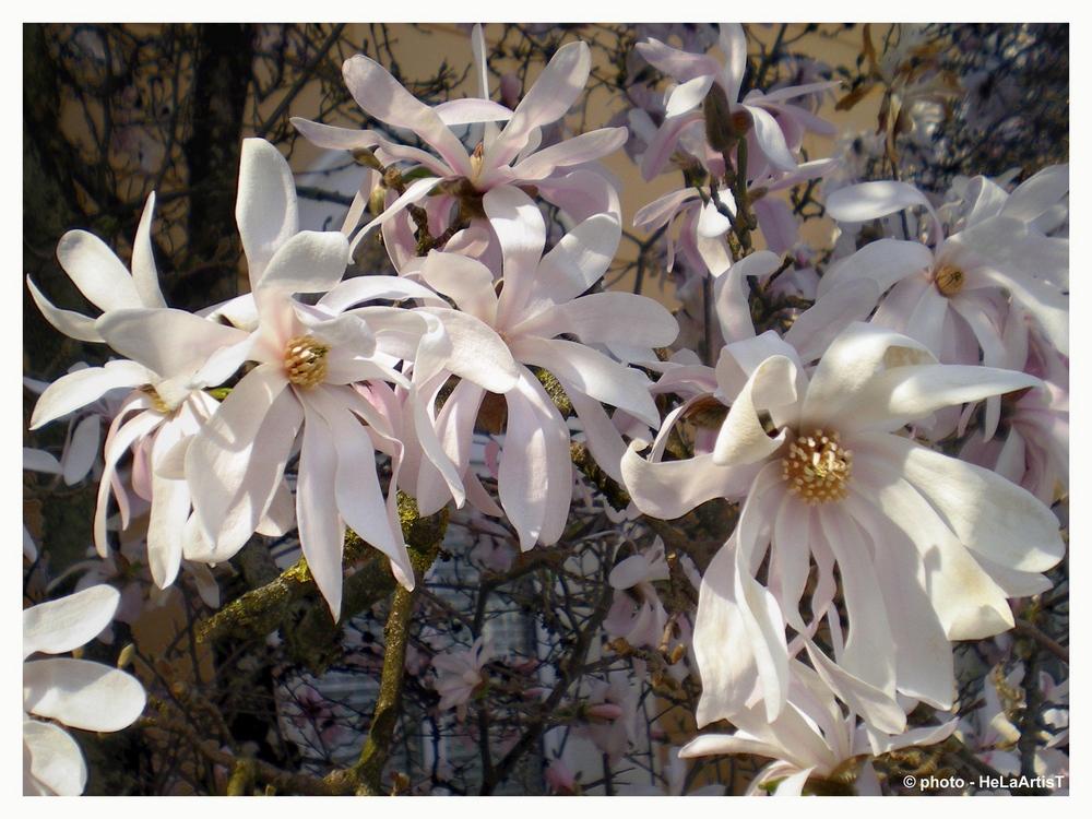 magnolien strauch foto bild pflanzen pilze flechten. Black Bedroom Furniture Sets. Home Design Ideas