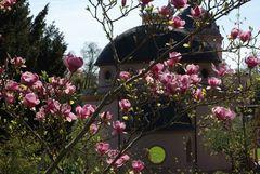 Magnolien und Moschee