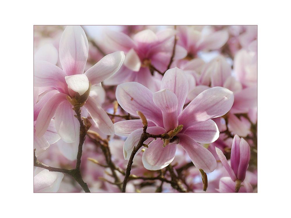 magnolienbaum foto bild pflanzen pilze flechten b ume jahreszeiten bilder auf. Black Bedroom Furniture Sets. Home Design Ideas