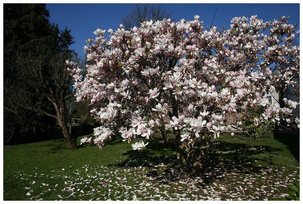 magnolienbaum foto bild pflanzen bl ten bilder auf fotocommunity. Black Bedroom Furniture Sets. Home Design Ideas